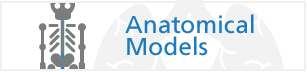 See Our Range of Anatomical Models