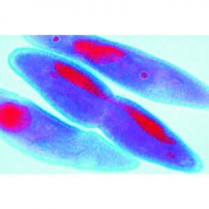 Mitosis and Meiosis Microscope Slide Sets