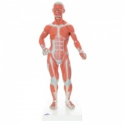 1/3 Life-Size Muscle Figure (2-Part)