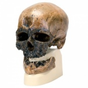 Anthropological Skull (Cro-Magnon)
