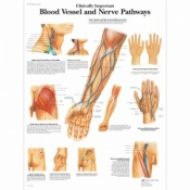 Blood Vessels and Nerves Chart