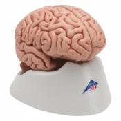 Classic Brain Model (5-Part)