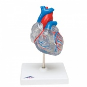 Classic Heart Model with Conducting System (2-Part)