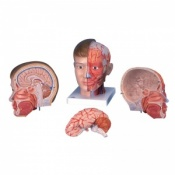 Deluxe Head Model with Neck (4-Part)