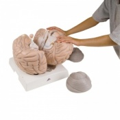 Giant Brain Model, 2.5 Times Life-Size (14-Part)