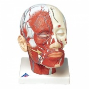 Head Musculature Model with Blood Vessels