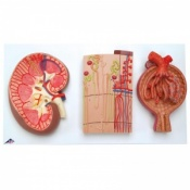 Kidney, Nephrons, Blood Vessels and Renal Corpuscle Models