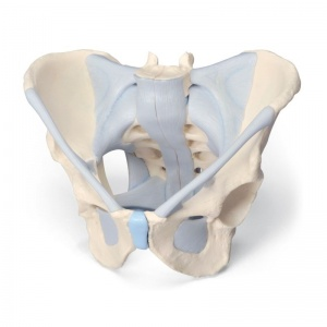2-Part Male Pelvis Model with Ligaments