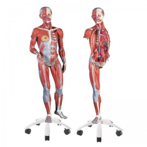 3/4 Life-Size Dual Sex Muscle Model (45-Part)