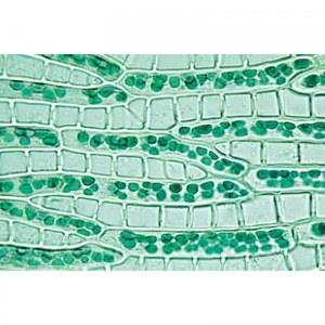 3B Bryophyta Microscopic Slides