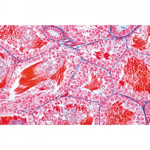 Animal Cell Microscope Slides