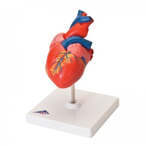 Classic Heart Model (2-Part)