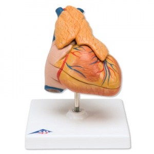 Classic Heart Model with Thymus (3-Part)