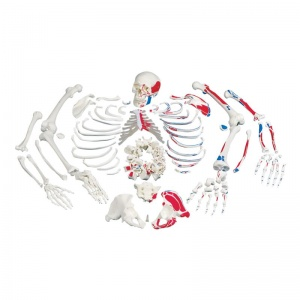 Disarticulated Painted Full Skeleton