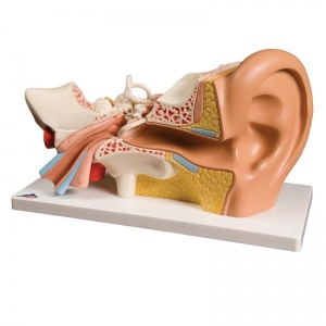 Giant Ear Model, 3 Times Full-Size (4-Part)