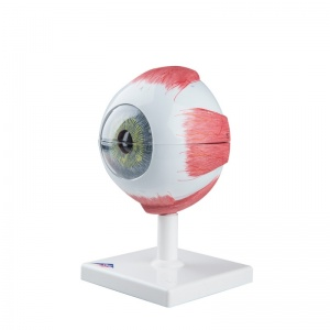 Giant Eye Model, 5 Times Full-Size (6-Part)