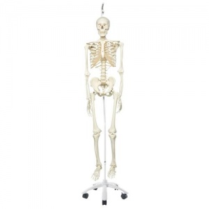 Stan the 3B Scientific Classic Skeleton A10 on Hanging Roller