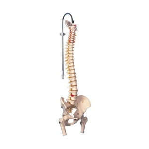 Highly Flexible Spine Model with Femur Heads A59/2