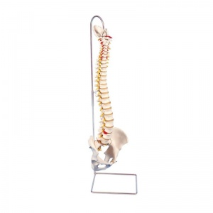 Highly Flexible Spine Model A59/1