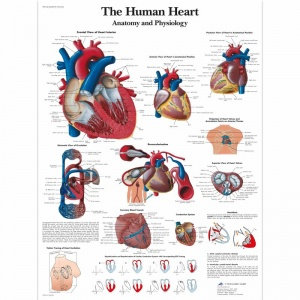 The Human Heart Chart (Laminated)