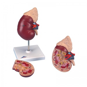 Kidney Model with Adrenal Gland (2-Part)