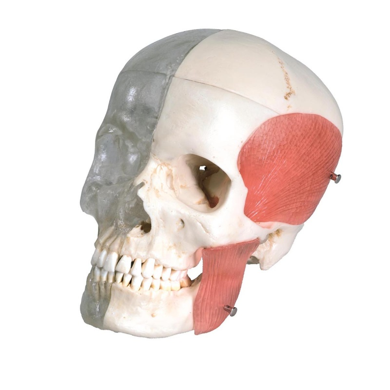 BONElike Half Transparent Human Skull Model (8-Part ...