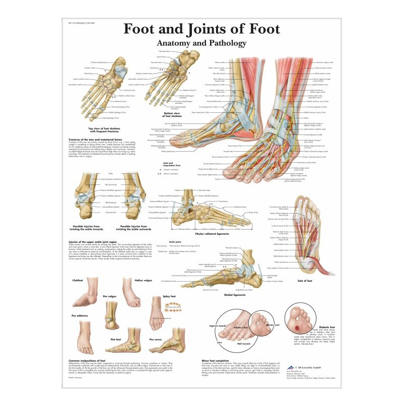 Foot and Ankle Anatomy Chart (Paper)