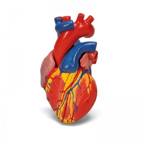 Magnetic Heart Model, Life-Size (5-Part)
