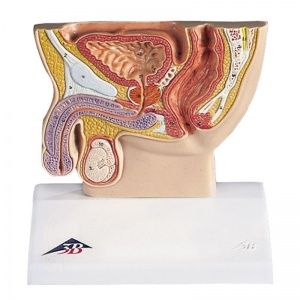 Male Pelvis Section Half Life-Size Model