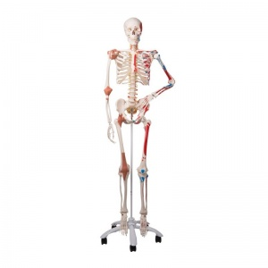 Sam the Super Skeleton A13 on Hanging Stand