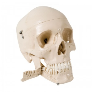 Skull Model with Teeth for Extraction (4-Part)