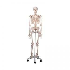 Stan the 3B Scientific Classic Skeleton A10