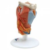 2-Part Larynx Model (2 Times Full-Size)