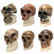 Anthropological Skull Model Set
