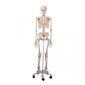 3B Scientific GmbH Skeleton Model - Stan A10