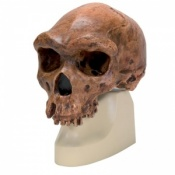 Anthropological Skull (Broken Hill or Kabwe)