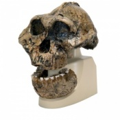Anthropological Skull (KNM-ER 406, Omo L. 7a-125)