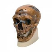 Anthropological Skull (La Chapelle-aux-Saints)