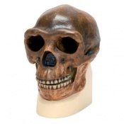 Anthropological Skull (Sinanthropus)