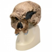 Anthropological Skull (Steinheim)
