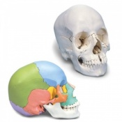 Beauchene Adult Human Skull Model (22-Part) (Coloured)