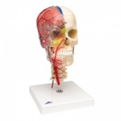 BONElike Deluxe Human Skull Model with Brain and Vertebrae