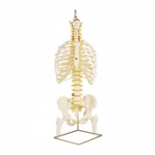 Classic Flexible Spine Model with Ribs and Femur Heads A56/2