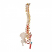 Deluxe Flexible Spine Model with Femur Heads and Painted Muscles A58/7