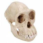 Female Chimpanzee Skull Model (Pan Troglodytes)