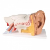 Giant Ear Model, 3 Times Full-Size (6-Part)