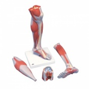 Life-Size Lower Muscle Leg Model with Knee (3-Part)