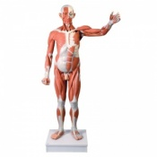 Life-Size Male Muscle Figure (37-Part)