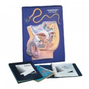 Male Reproductive System Model Activity Set