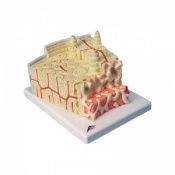 3B Microanatomy Bone Structure Model